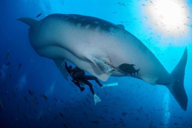 Veja como é feita uma ecografia no maior tubarão do mundo