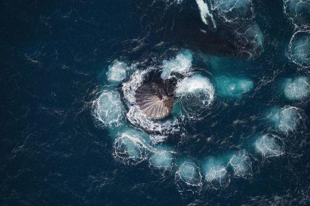 Um drone permite gravar como baleias jubarte capturam krill com bolhas