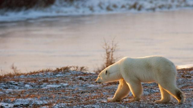 O aquecimento global acabará com espécies como o urso polar e os recifes de coral em 2100